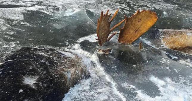 froz moose